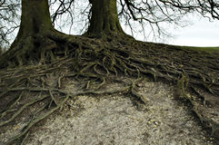 Wide branched roots Stock Photo