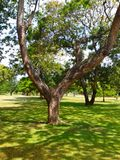 Wide branches tree. Beautiful tree full of iguanas, squirrels and birds stock images