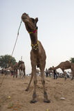Wide camel field Stock Photography