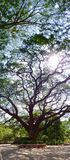 The wide-canopy of a Rain Tree (Saman). Royalty Free Stock Photos