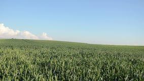 Wide corn field woman Stock Photography