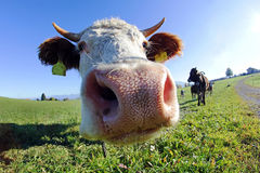 Wide corner admission of a Simmentaler cattle with horns Royalty Free Stock Images