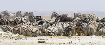 Wide-cropped view of a herd of thirsty zebra crowding a water-hole in the Etosha Wildlife Reserve in Namibia.  It was very dry at Stock Images