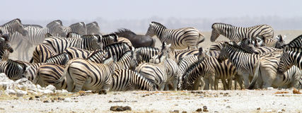 Wide-cropped view of a herd of thirsty zebra crowding a water-hole in the Etosha Wildlife Reserve in Namibia.  It was very dry at Royalty Free Stock Image