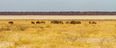 A wide-cropped view of a herd of Wildebeest on the edge of the huge salt pan central to the Etosha Wildlife Reserve in Namibia.  I Royalty Free Stock Photography