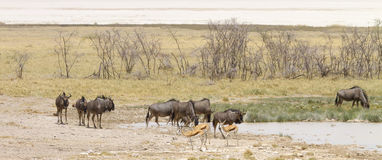 Wide-cropped view of Wildebeest and Springbok at a watering holed in the Etosha Wildlife Reserve in Namibia. Royalty Free Stock Image