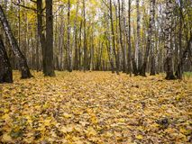 Wide dirt alley in autumn forest surrounded with birch trees Stock Photos