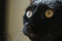 Wide eyed black cat closeup royalty free stock images