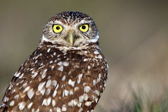 Wide-Eyed Burrowing Owl Royalty Free Stock Photography