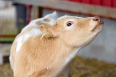 Wide Eyed Calf. A close up picture of a wide eyed calf Royalty Free Stock Photography