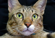 Wide-Eyed Cat. Cat Surprising Expression Wide-Eyed Stock Photo
