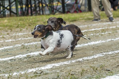 Wide eyed Dachsund out in front. Royalty Free Stock Photography