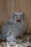 Wide eyed Eastern Screech Owl chick, Megascops asio Royalty Free Stock Photography