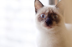 Wide-eyed kitten Royalty Free Stock Image