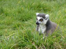 Wide eyed Lemur sitting in grass royalty free stock image