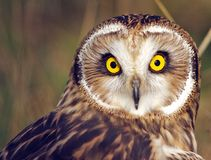 Wide eyed Owl Royalty Free Stock Photos