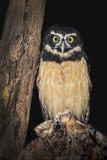 Wide-Eyed Owl Stock Image