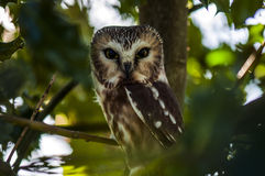Wide-eyed Saw-whet Owl in the bushes, Ladner, British Columbia Royalty Free Stock Images