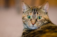 A wide eyed tabby cat looks surprised. Stock Photo