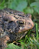 Wide eyed Toad Stock Photo