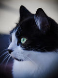 Wide eyed and waiting. Black and white cat with vibrant eyes Stock Photo