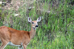Wide Eyed Whietail Deer Royalty Free Stock Image