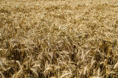 Wide field of golden wheat in summer sunny day. Season of a harvesting. Close up of corn field ready for harvest. Design royalty free stock image