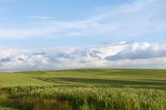 Wide field with green wheat against the blue sky with clouds Stock Images