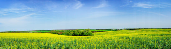 Wide field of rapefield and clouds. Stock Photo