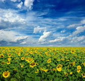 Wide field of sunflowers. Yellow sunflowers on wide field Royalty Free Stock Images