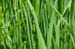 Wide flat green grass texture Royalty Free Stock Image
