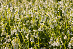 Wide garlic flowers on meadow Royalty Free Stock Photo