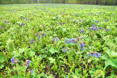 Wide glade full of bright vivid blue flowers and fresh green grass Stock Photo
