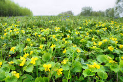 Wide glade full of bright vivid yellow flowers and fresh green grass Stock Image