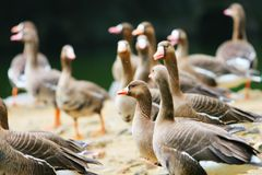 Wide goose 2. The wide goose in the zoo of china Stock Image