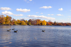 Wide goose in the lake. These ponds with geese, on a sunny autumn day Stock Photo