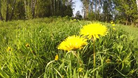 Yellow flowers on sunny day movement. Wide GoPro movement video: Yellow flowers, green field and forest on sunny day and green are stock footage