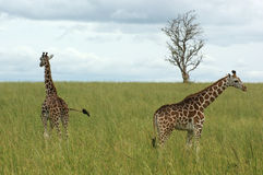 Two Giraffes in african savannah Royalty Free Stock Images