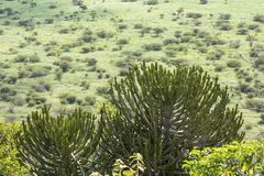 Wide and green landscape view of Kruger National Park Stock Image