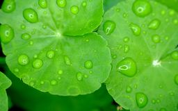 Wide green leaves. With lots of water drops on it Stock Images