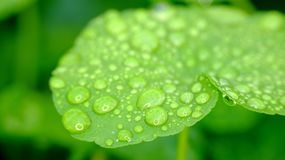 Wide green leaves Royalty Free Stock Image