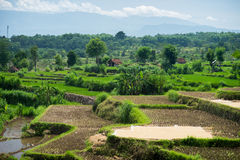 Wide green rice terraces at Bali. Wide green rice terraces at the Bali Royalty Free Stock Photos