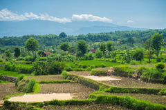 Wide green rice terraces at Bali. Wide green rice terraces at the Bali Royalty Free Stock Images