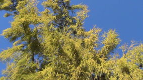Wide larch branch sky stock video