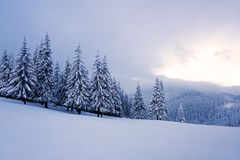 On the wide lawn there are many fir trees standing under the snow on the frosty winter day. Royalty Free Stock Image