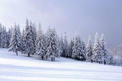 On the wide lawn there are many fir trees standing under the snow on the frosty winter day. Stock Image