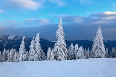 On the wide lawn there are many fir trees standing under the snow on the frosty winter day. Stock Photography