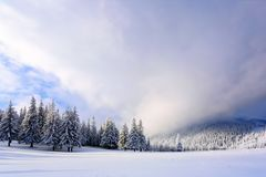 On the wide lawn there are many fir trees standing under the snow on the frosty winter day. Stock Images