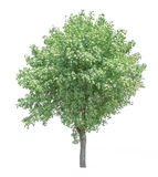 Wide leaf green tree Stock Photos