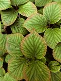 Wide leaves of tropical plants background. Green plant texture Stock Photography